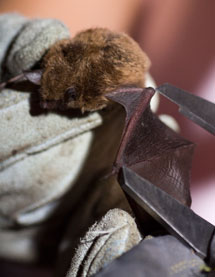 A bat is measured and weighed in order to determine its body mass index during a 2010 study at Chautauqua. Daily file photo.