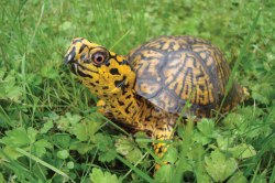 Franklin, the eastern box turtle.