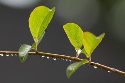 Greg Funka | Staff PhotographerA close-up of a flowering dogwood branch and leaves, wet with Aug. 8 rain.
