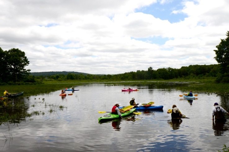 On Saturday, June 14, volunteers coordinated with the Audobon Society, the Watershed Initiative and the Lake Association to pull water chestnuts from Big Pond at the Jamestown Audubon Center. A proposed five-year plan, heavily dependent on volunteers, aims to ensure that Chautauqua Lake and surrounding regions will be water chestnut-free. To remove the water chestnuts, volunteers either wade or use kayaks to pull out the plants that grow toward the surface of the pond.