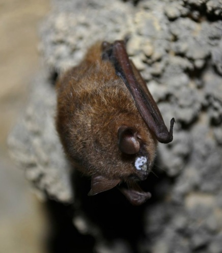 Field to discuss potential cure for white-nose syndrome inbats
